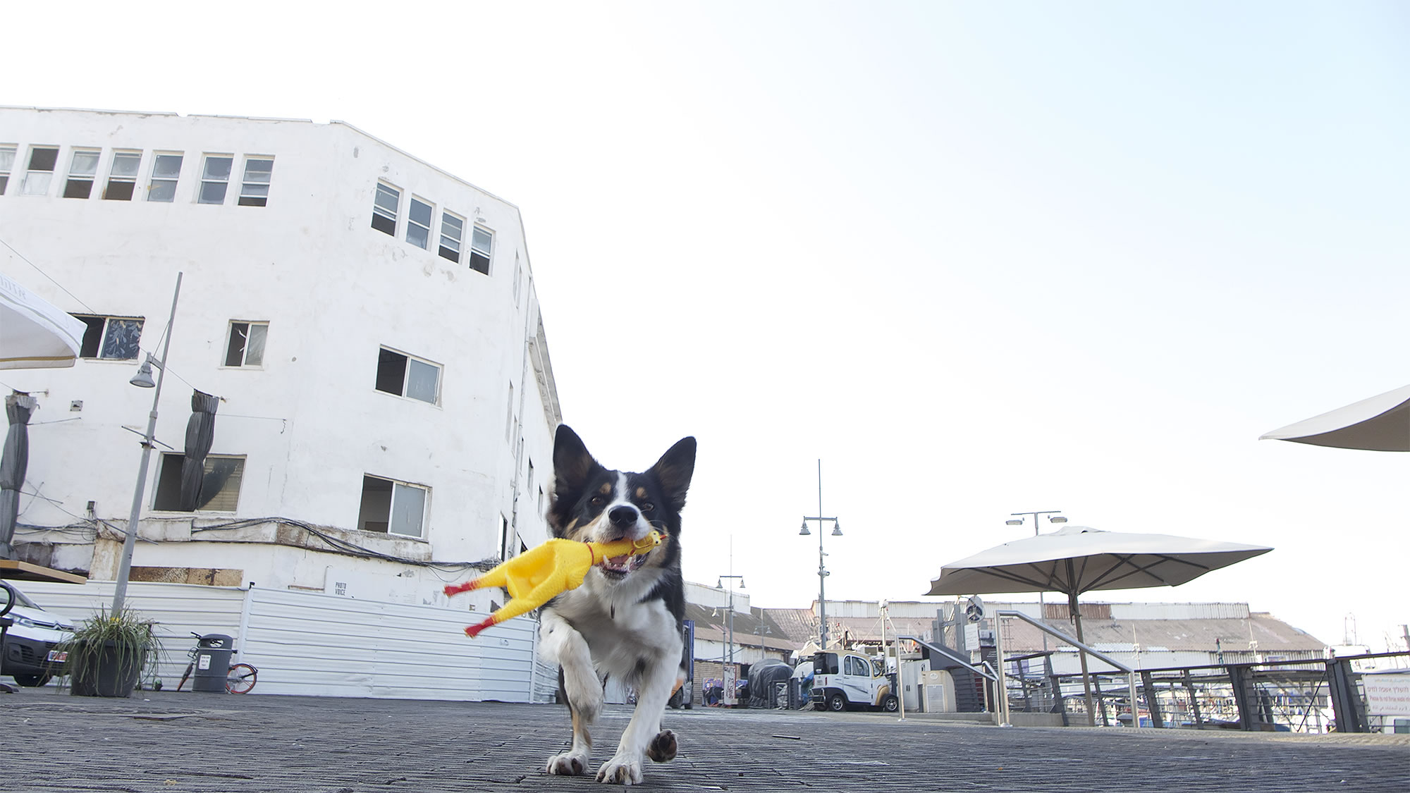 dog with plastic chicken tel aviv